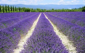 How Is Lavender Essential Oil Made And How Is It Used?